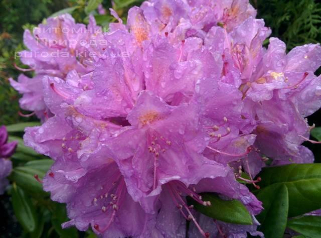 Рододендрон крупноцветковый Катебинский Грандифлорум (Rododendron Catawbiense Grandiflorum) ФОТО Питомник растений Природа Priroda (70)