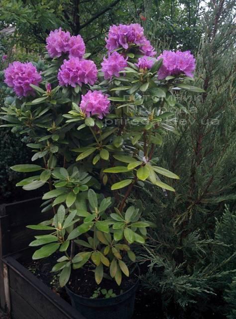 Рододендрон крупноцветковый Катебинский Грандифлорум (Rododendron Catawbiense Grandiflorum) ФОТО Питомник растений Природа Priroda (63)