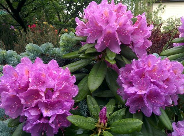 Рододендрон крупноцветковый Катебинский Грандифлорум (Rododendron Catawbiense Grandiflorum) ФОТО Питомник растений Природа Priroda (64)