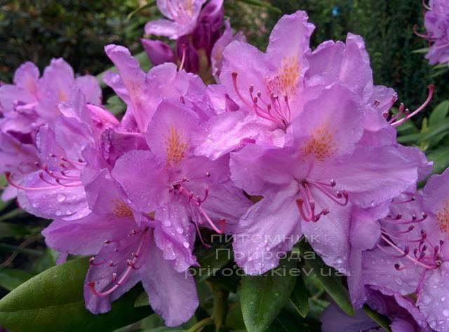 Рододендрон крупноцветковый Катебинский Грандифлорум (Rododendron Catawbiense Grandiflorum) ФОТО Питомник растений Природа Priroda (58)