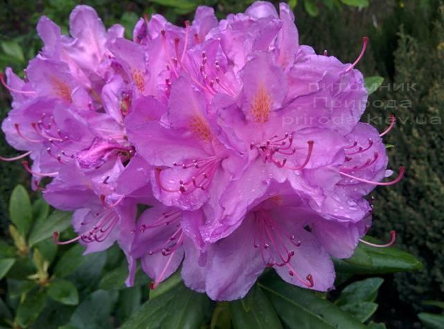 Рододендрон крупноцветковый Катебинский Грандифлорум (Rododendron Catawbiense Grandiflorum) ФОТО Питомник растений Природа Priroda (59)