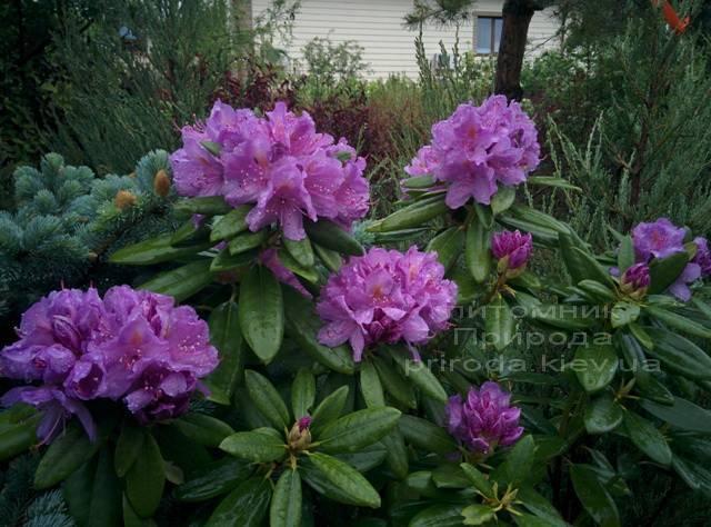 Рододендрон крупноцветковый Катебинский Грандифлорум (Rododendron Catawbiense Grandiflorum) ФОТО Питомник растений Природа Priroda (60)