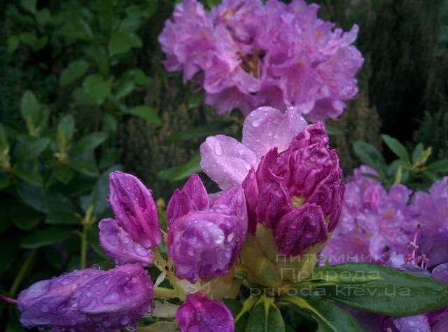 Рододендрон крупноцветковый Катебинский Грандифлорум (Rododendron Catawbiense Grandiflorum) ФОТО Питомник растений Природа Priroda (66)
