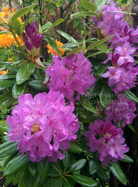 Рододендрон крупноцветковый Катебинский Грандифлорум (Rododendron Catawbiense Grandiflorum) ФОТО Питомник растений Природа Priroda (68)