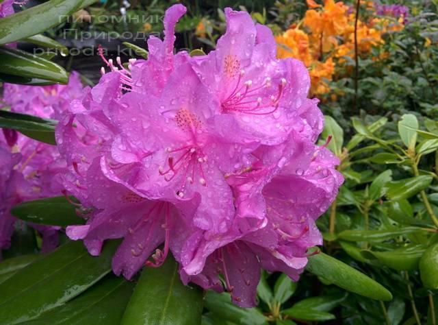 Рододендрон крупноцветковый Катебинский Грандифлорум (Rododendron Catawbiense Grandiflorum) ФОТО Питомник растений Природа Priroda (61)