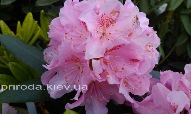 Рододендрон крупноцветковый Хельсинки Юнивесити (Rododendron Helsinki University) ФОТО Питомник растений Природа Priroda (52)