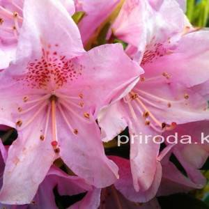 Рододендрон крупноцветковый Хельсинки Юнивесити (Rododendron Helsinki University) ФОТО Питомник растений Природа Priroda (53)