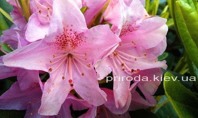 Рододендрон крупноцветковый Хельсинки Юнивесити (Rododendron Helsinki University) ФОТО Питомник растений Природа Priroda