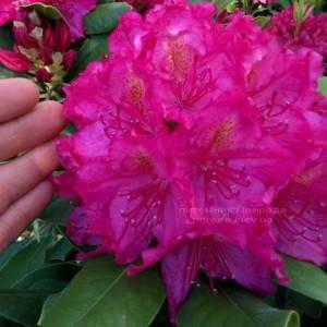 Рододендрон крупноцветковый Американ Бьюти (Rododendron Pearces American Beauty) ФОТО Питомник растений Природа Priroda