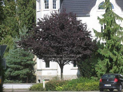 Слива растопыренная Нигра/Nigra (Prunus cerasifera Nigra) ФОТО Питомник растений Природа Priroda (6)