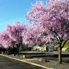 Слива растопыренная Нигра/Nigra (Prunus cerasifera Nigra) ФОТО Питомник растений Природа Priroda
