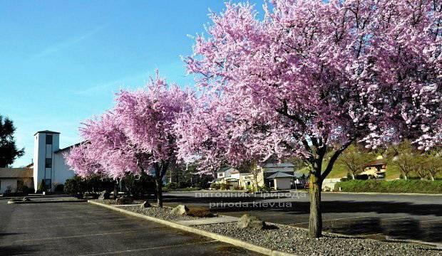 Слива растопыренная Нигра/Nigra (Prunus cerasifera Nigra) ФОТО Питомник растений Природа Priroda (10)