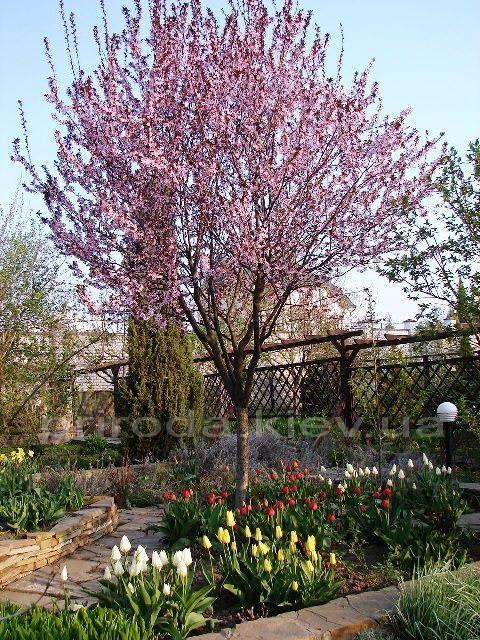 Слива растопыренная Писарди/Pissardii (Prunus cerasifera Pissardii) ФОТО Питомник растений Природа Priroda