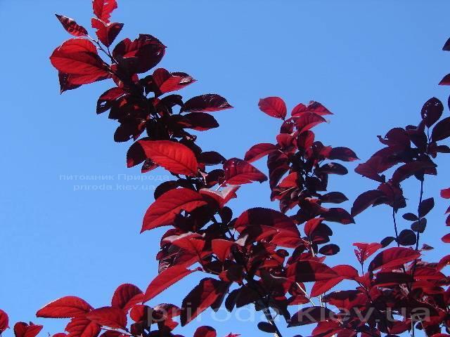 Слива растопыренная Писарди/Pissardii (Prunus cerasifera Pissardii) ФОТО Питомник растений Природа Priroda (5)