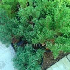 Сосна горная (Pinus mugo) ФОТО Питомник растений Природа Priroda