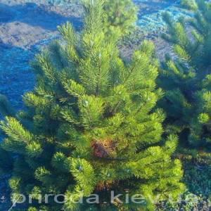 Сосна горная (Pinus mugo) ФОТО Питомник растений Природа Priroda (8)