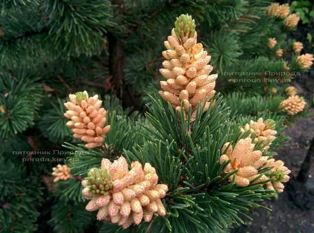 Сосна горная (Pinus mugo) ФОТО Питомник растений Природа Priroda (18)