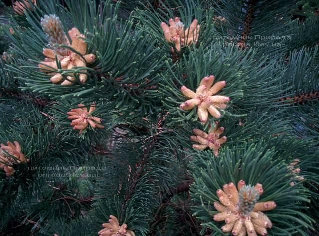 Сосна горная (Pinus mugo) ФОТО Питомник растений Природа Priroda (13)