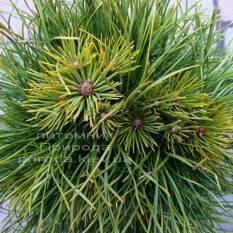 Сосна горная Варелла (Pinus mugo Varella) ФОТО Питомник растений Природа Priroda