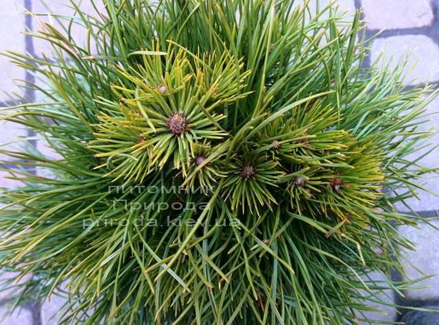 Сосна горная Варелла (Pinus mugo Varella) ФОТО Питомник растений Природа Priroda (1)