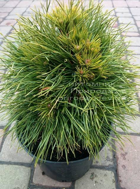 Сосна горная Варелла (Pinus mugo Varella) ФОТО Питомник растений Природа Priroda (2)