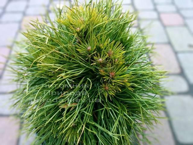 Сосна горная Варелла (Pinus mugo Varella) ФОТО Питомник растений Природа Priroda (3)