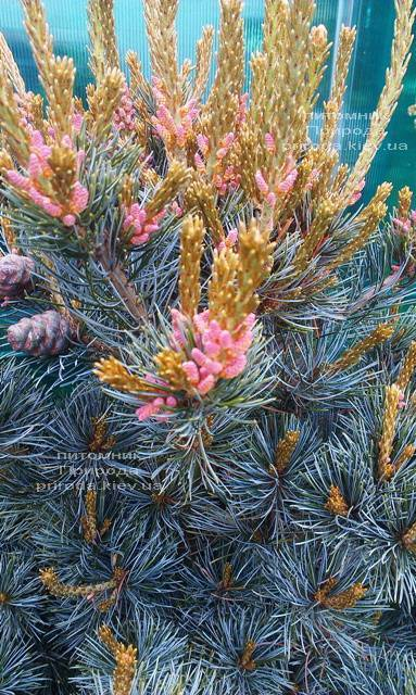 Сосна мелкоцветковая Негиши (Pinus parviflora Negishi) ФОТО Розплідник рослин Природа Priroda (31)