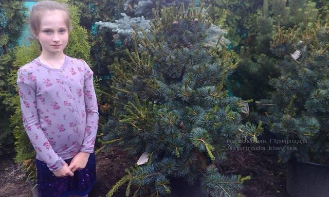 Сосна мелкоцветковая Негиши (Pinus parviflora Negishi) ФОТО Питомник растений Природа Priroda (29)