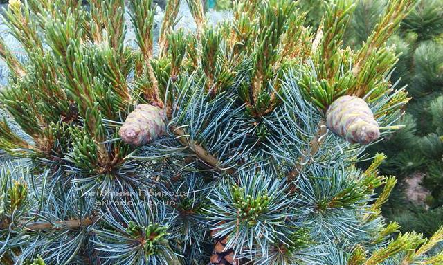 Сосна мелкоцветковая Негиши (Pinus parviflora Negishi) ФОТО Питомник растений Природа Priroda (30)