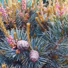 Сосна мелкоцветковая Негиши (Pinus parviflora Negishi) ФОТО Питомник растений Природа Priroda