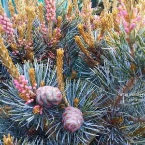 Сосна мелкоцветковая Негиши (Pinus parviflora Negishi) ФОТО Питомник растений Природа Priroda (23)