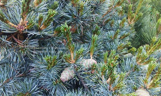 Сосна мелкоцветковая Негиши (Pinus parviflora Negishi) ФОТО Питомник растений Природа Priroda (33)