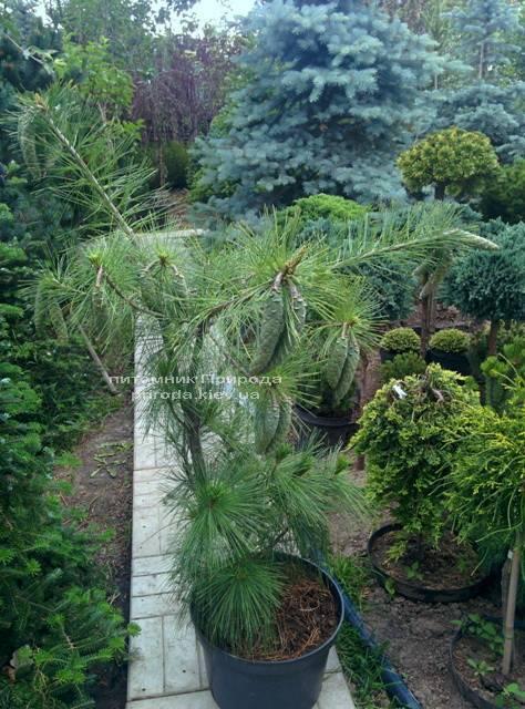 Сосна Шверина Витхорст (Pinus schwerinii Wiethorst) ФОТО Питомник растений Природа Priroda (20)