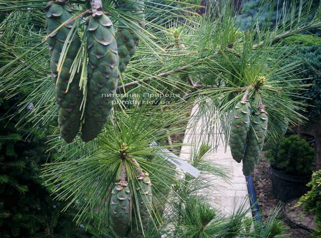 Сосна Шверина Витхорст (Pinus schwerinii Wiethorst) ФОТО Питомник растений Природа Priroda (21)