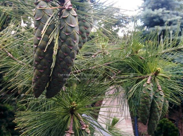 Сосна Шверина Витхорст (Pinus schwerinii Wiethorst) ФОТО Питомник растений Природа Priroda (22)