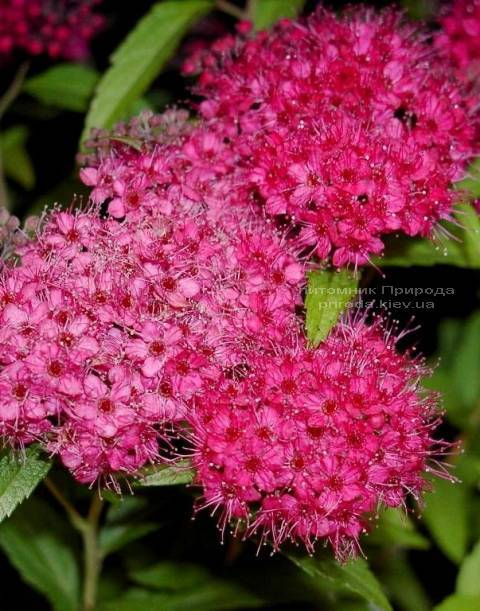 Cпирея японская Энтони Ватерер (Spiraea japonica Аnthony Waterer) ФОТО Питомник растений Природа Priroda