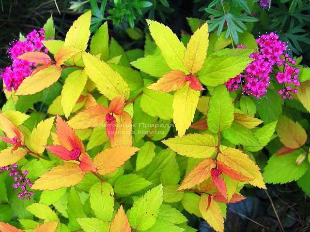 Спирея японская Голдфлейм (Spiraea japonica Goldflame) ФОТО Питомник растений Природа Priroda (11)