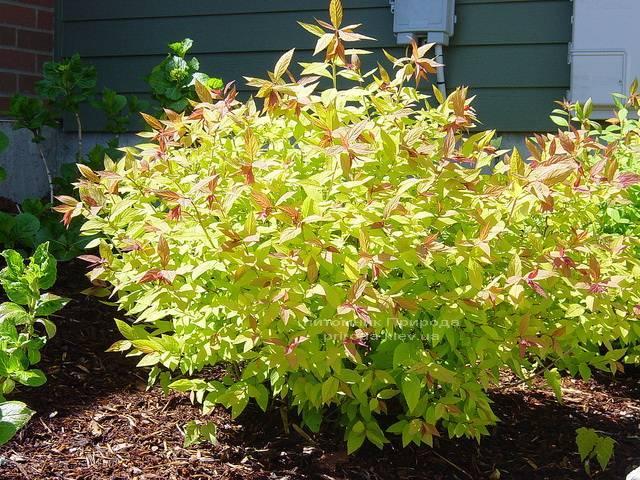 Спирея японская Голдфлейм (Spiraea japonica Goldflame) ФОТО Питомник растений Природа Priroda (14)