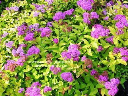 Спирея японская Голдфлейм (Spiraea japonica Goldflame) ФОТО Питомник растений Природа Priroda (15)