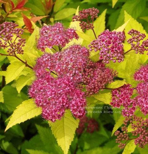 Спірея японська Голдфлейм (Spiraea japonica Goldflame) ФОТО Розплідник рослин Природа Priroda (12)