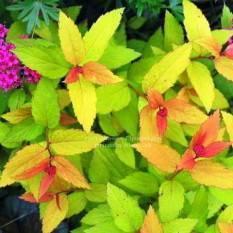 Спирея японская Голдфлейм (Spiraea japonica Goldflame) ФОТО Питомник растений Природа Priroda (17)