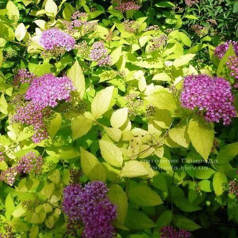 Спирея японская Голдфлейм (Spiraea japonica Goldflame) ФОТО Питомник растений Природа Priroda (18)