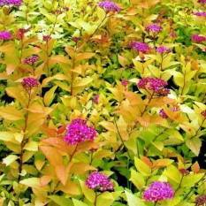 Спирея японская Голдфлейм (Spiraea japonica Goldflame) ФОТО Питомник растений Природа Priroda