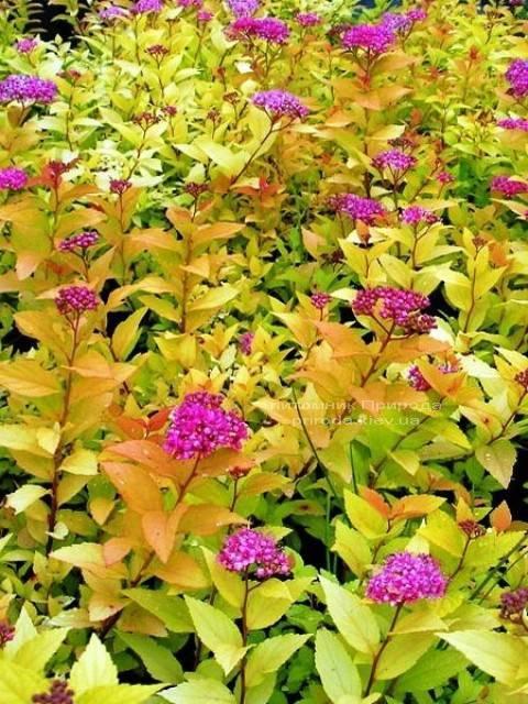 Спирея японская Голдфлейм (Spiraea japonica Goldflame) ФОТО Питомник растений Природа Priroda (13)