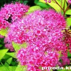 Спирея японская Голдмаунд (Spiraea japonica Goldmound) ФОТО Питомник растений Природа Priroda