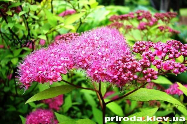 Спирея японская Голдмаунд (Spiraea japonica Goldmound) ФОТО Питомник растений Природа Priroda (20)