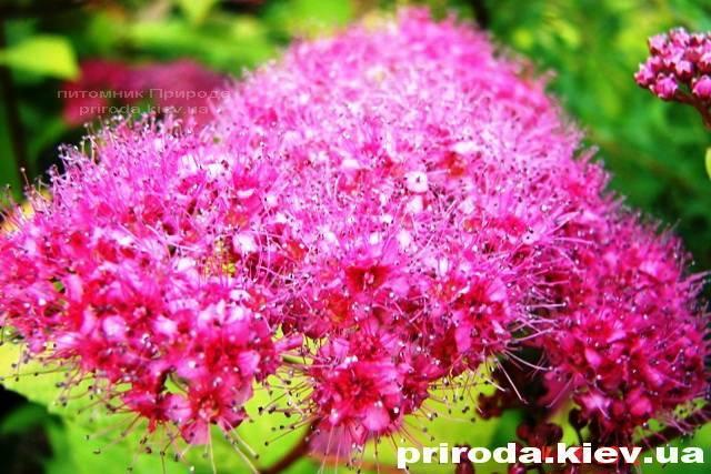 Спирея японская Голдмаунд (Spiraea japonica Goldmound) ФОТО Питомник растений Природа Priroda (21)