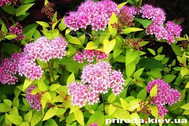 Спірея японська Голдмаунд (Spiraea japonica Goldmound) ФОТО Розплідник рослин Природа Priroda (22)