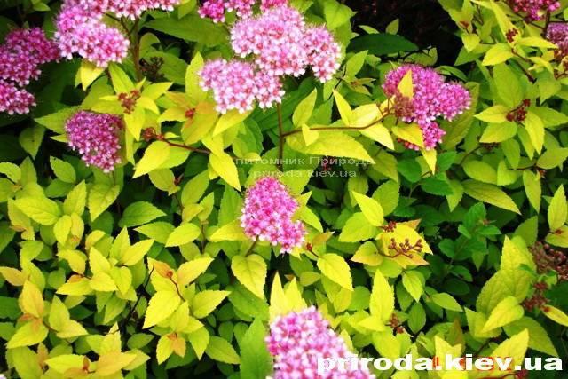 Спирея японская Голдмаунд (Spiraea japonica Goldmound) ФОТО Питомник растений Природа Priroda (23)