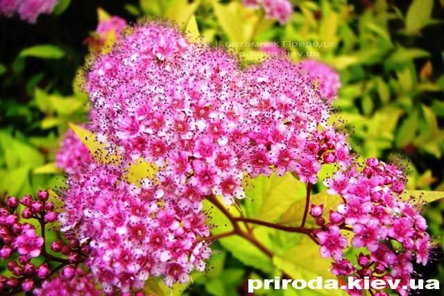 Спирея японская Голдмаунд (Spiraea japonica Goldmound) ФОТО Питомник растений Природа Priroda (27)